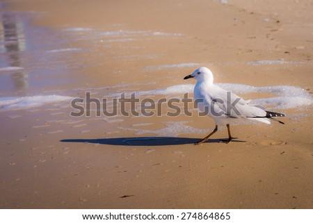 Seagull on golden beach, Gold Coast, Australia - stock photo