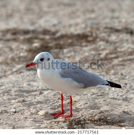 Seagull on sea beach at sun day. Close-up view. - stock photo