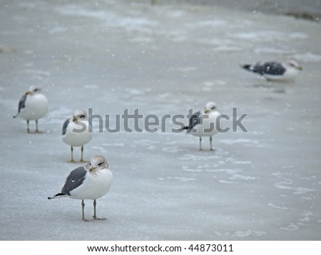 Seagull on Snow