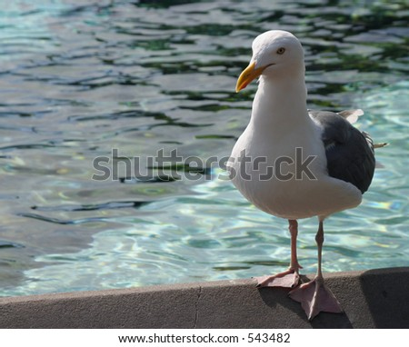 Seagull on the edge of a pool - stock photo
