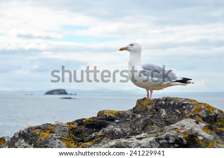 Seagull on the rocks of North Berwick, Scotland