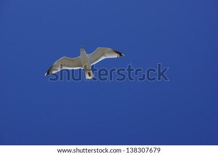 Seagull overhead - stock photo