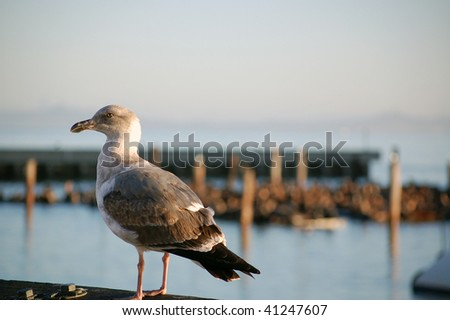 seagull overlooking Pier 39 in San Francisco - stock photo
