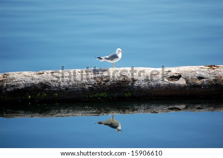 Seagull reflection - stock photo