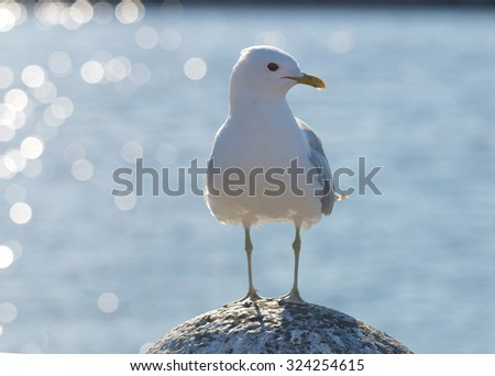 Seagull standing on a stone, glittering sea in the background. Latin: Larus argentatus