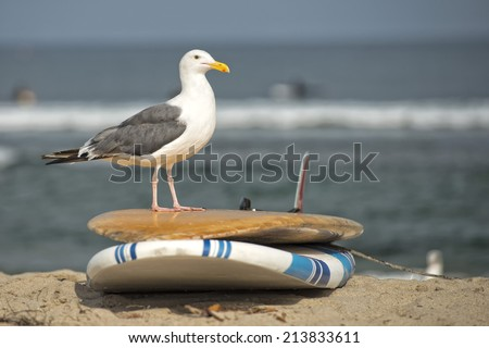 seagull standing on surf board - stock photo