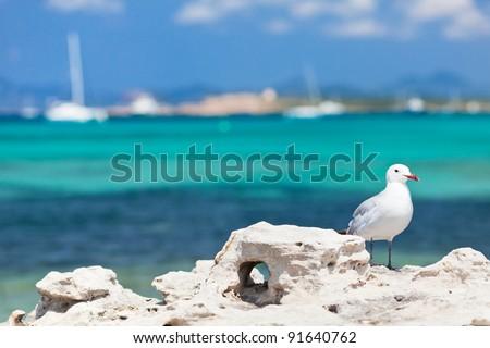 Seagull standing on the coastal rock.  Trucadors beach. Formentera. Spain. - stock photo