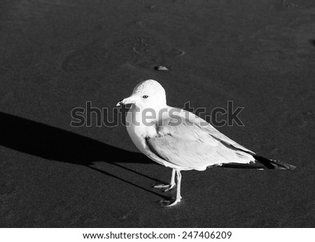 seagull standing on the sand black and white photography - stock photo