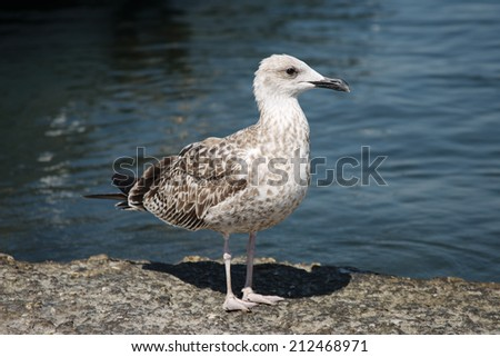 Seagull stay on stone near the sea water - stock photo
