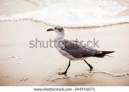 Seagull walking in the tide on Virginia Beach on a summer morning - stock photo