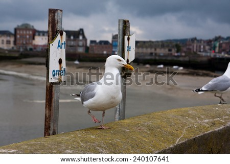 Seagull walking in Treport, Normandy at la manche seashore between France and England - stock photo