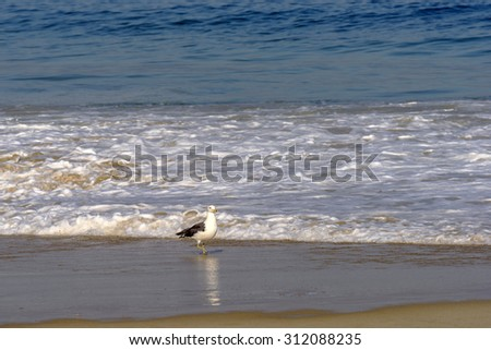 Seagull walking on the seashore in the Devil beach in Ipanema, Rio de Janeiro - stock photo
