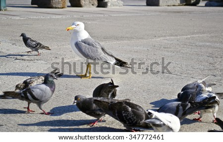 seagull with pigeons on the road