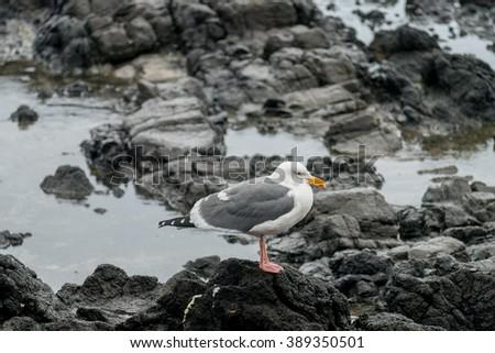 Seagulls at Cape Perpetual along Oregon Coast - stock photo