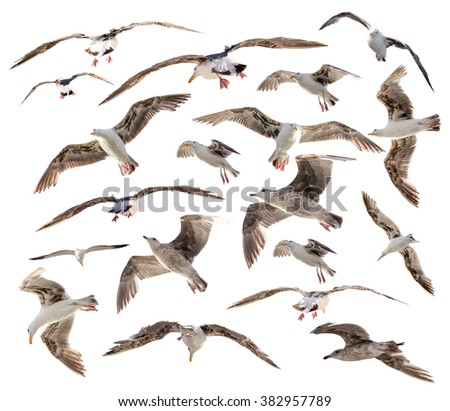 Seagulls birds set isolated on white background - stock photo
