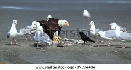 Seagulls, Black bird and  American Bald eagles eats  fish the halibut  on the beach, Alaska, USA - stock photo