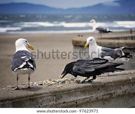 Seagulls & Crow at Golden Gate Park - stock photo