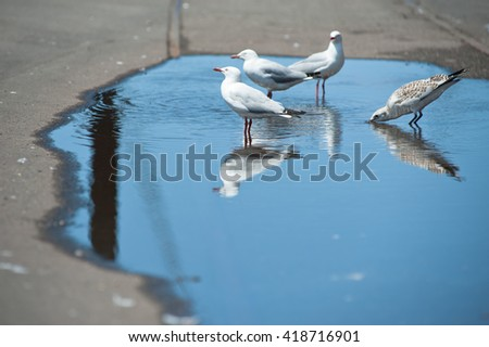 Seagulls drinking from a puddle - stock photo