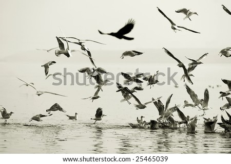Seagulls eatingon Ganges River at Varanasi, India - stock photo