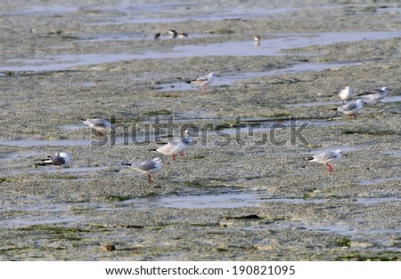 Seagulls feeding in the low tide - stock photo