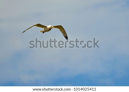 Seagulls flying in the sky. Seagulls are seabirds of the family Laridae in the suborder Lari.