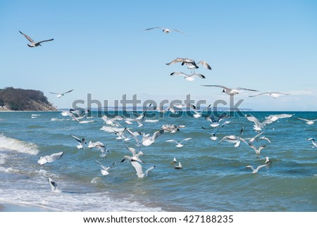 Seagulls hunt for small fish in the shallow Baltic Sea next to Baabe village on island Rugen, Northern Germany