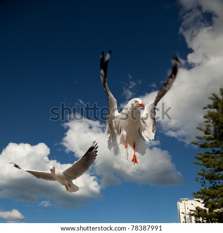 seagulls in flight against a beautiful blue sky - stock photo
