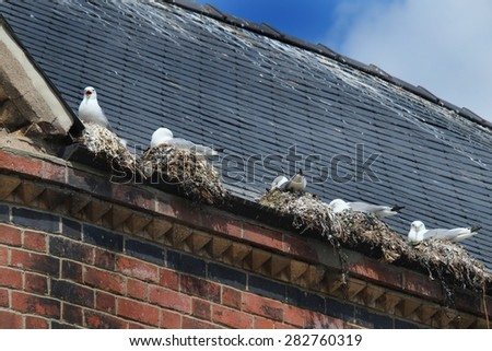 Seagulls nesting in gutter of building in town center, Bridlington. UK.