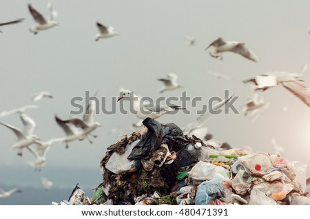Seagulls on a landfill
