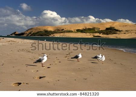 Seagulls standing on Opononi beach in Northland region of North island of New Zealand. - stock photo
