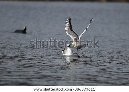 Seagulls - the fight for food. - stock photo