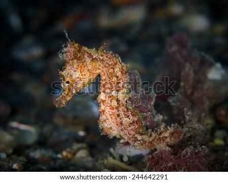 Seahorse (Hippocampus sp.) - stock photo