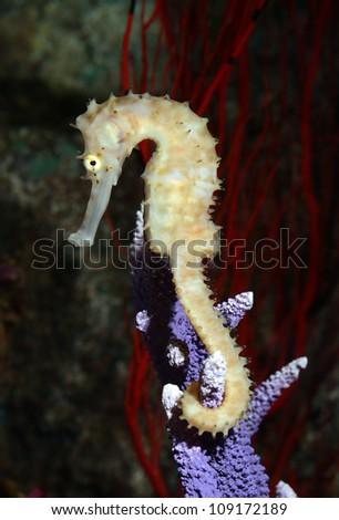 seahorse (Hippocampus) swimming - stock photo