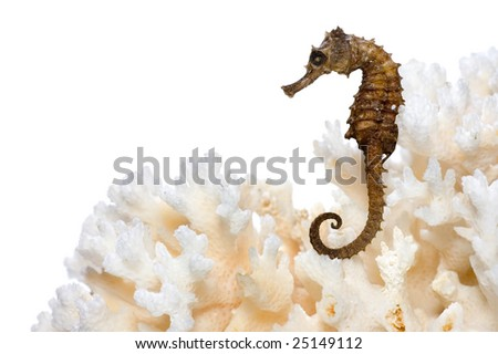 Seahorse on Coral isolated - stock photo