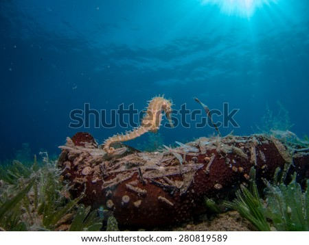 Seahorse Swimming over Sea Cucumber. Sun Rays in the Water - stock photo