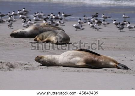 Seal at Seal Bay. Kangaroo Island. Australia - stock photo