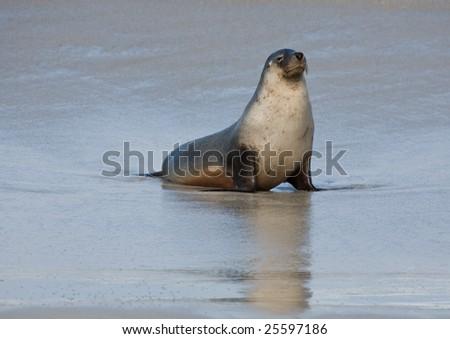 Seal at Seal Bay Kangaroo Island South Australia - stock photo