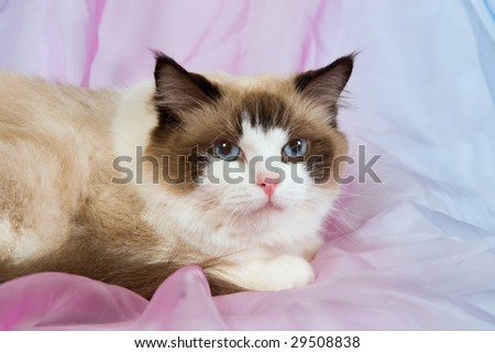 Seal Bicolor Ragdoll on shiny pink and blue background fabric - stock photo