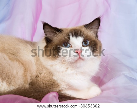 Seal Bicolor Ragdoll on shiny pink blue fabric - stock photo