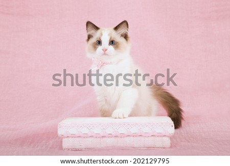 Seal Bicolour Ragdoll kitten posing with pink gift box on pink background  - stock photo