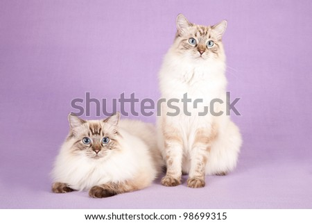Seal Colorpoint Ragdoll cats on lilac purple background - stock photo