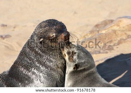 Seal mother and pup (Arctocephalus pusillus) - stock photo