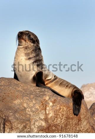 seal on rock (Arctocephalus pusillus) - stock photo