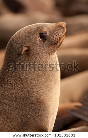 Seal on skeleton coast in Namibia - stock photo