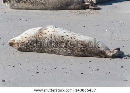 Seal on the dune of Helgoland relaxing close - stock photo