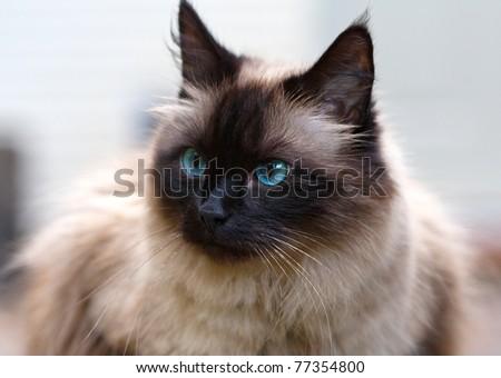 Seal point cat portrait - stock photo
