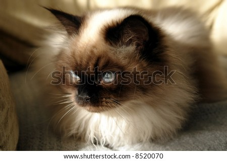 seal point himalayan cat sitting in the sunshine showing off his blue eyes - stock photo