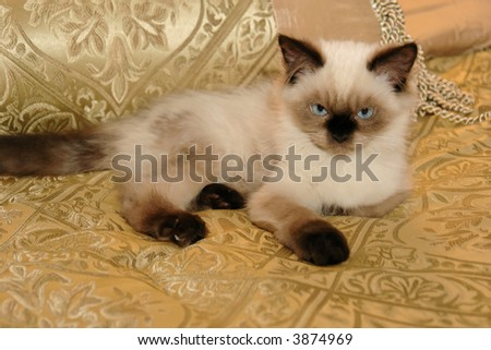 Seal Point Himalayan Kitten on a Gold Background - stock photo