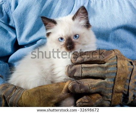Seal point mitted ragdoll kitten held by the hands of a construction worker - stock photo