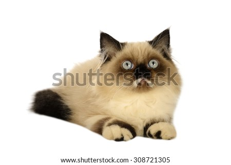 Seal point persian cat isolated over white background